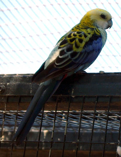 free downloading pics of parrots wikipedia